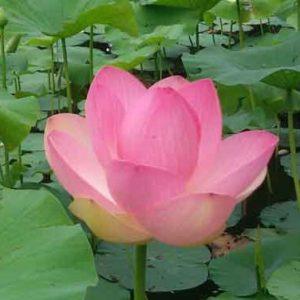 Lotus kracht mantra's buiten